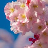 A branch of cherry blossoms. Blooming cherry stock image