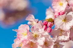 A branch of cherry blossoms. Blooming cherry tree in springtime. Beautiful spring flowers stock images
