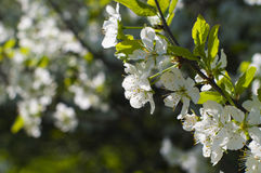 A branch of cherry blossoms close-up. A branch of cherry blossoms in spring close up Royalty Free Stock Image