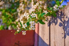 Branch of cherry blossoms hanging from the fence stock photos