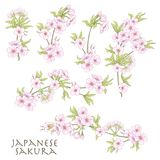 Branch of cherry blossoms, japanese cherry. Stock line vector il. Lustration botanic flowers Stock Photography