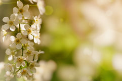 Branch of cherry blossoms Royalty Free Stock Photo