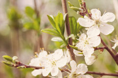 Branch of cherry blossoms Royalty Free Stock Image