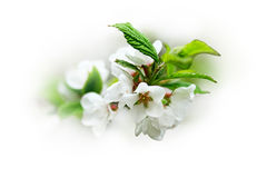 A branch of cherry blossoms Royalty Free Stock Image