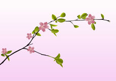 Branch of cherry blossoms in spring on a pink