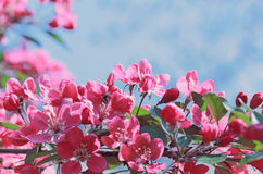Branch of cherry blossoms. Stock Photo