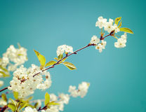 A branch of the cherry blossoms. Vintage retro hipster style ver Stock Photography