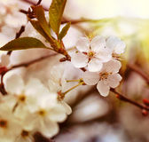A branch of the cherry blossoms. Vintage retro hipster style ver Royalty Free Stock Photo
