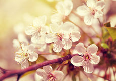 A branch of the cherry blossoms. Vintage retro hipster style ver Stock Image