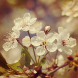 A branch of the cherry blossoms. Vintage retro hipster style ver Stock Photo