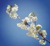 A branch of the cherry blossoms. Vintage retro hipster style Stock Images