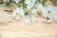 Branch of cherry blossoms on wooden board. frame Royalty Free Stock Photography