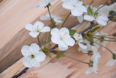 Branch of cherry blossoms on wooden board. frame Royalty Free Stock Photo
