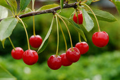 Branch with cherry. Brush cherries on a branch Royalty Free Stock Image