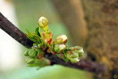Branch of cherry buds Macro Royalty Free Stock Photos