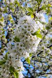 A branch of cherry covered by a bunch of white blossoms stock image