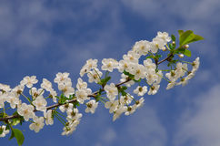 Branch of cherry flowers against the blue sky Royalty Free Stock Photos