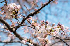 Branch of cherry flowers in blossom and blue sky stock photography