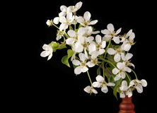Branch with cherry flowers and blossoms Royalty Free Stock Image