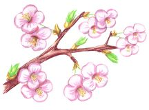 Branch of cherry with flowers vector illustration
