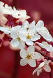 Branch of cherry flowers on red background Stock Photo