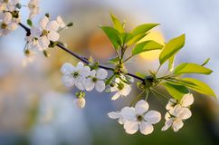 Branch with cherry blossom Royalty Free Stock Photos
