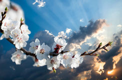 Branch of cherry flowers at sunset stock image