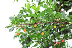 Branch of cherry and green leaves Stock Photography