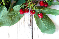 Branch of cherry Royalty Free Stock Image