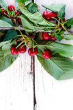 Branch of cherry Stock Images