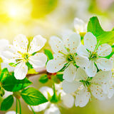 branch of cherry in the sun Stock Photos
