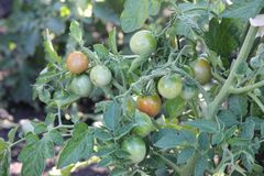 The branch of the cherry tomatoes ripening in the sun. Green bush of the cherry tomatoes stock image