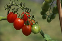 Branch with cherry tomatoes. Branch with some cherry tomatoes, vegetable garden in Italy royalty free stock photography