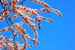 Branch of a cherry tree. On a blue sky Royalty Free Stock Image