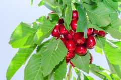 Branch of cherry tree against blue sky Stock Images