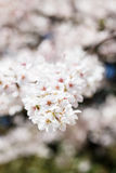 Branch of Cherry Tree in Bloom. Closeup of blossoms of a cherry tree in the spring Stock Photos