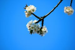 A branch of a cherry tree blooms in spring. Flowering branch of a tree against the blue sky royalty free stock photography