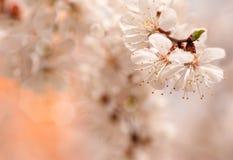 Branch of cherry tree flower , bright orange background Stock Photography