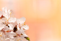 Branch of cherry tree flower , bright orange background. Close-up Royalty Free Stock Photography