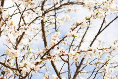 Branch of cherry tree with many flowers over blue sky Royalty Free Stock Image