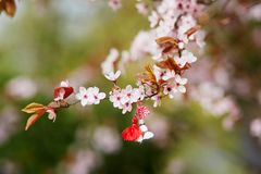 Branch of cherry tree with martisor, traditional symbol of the first spring day. Branch of blossoming cherry tree with red and white martisor - traditional stock photography