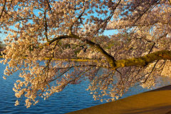 A branch of cherry tree near Tidal Basin at blossom peak in Washington DC, USA. Royalty Free Stock Images