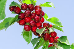 Branch of cherry tree with ripe tasty sweet berries Royalty Free Stock Photography