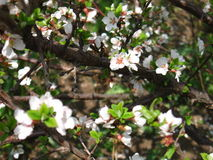 Branch of cherry tree with small flowers. Royalty Free Stock Images