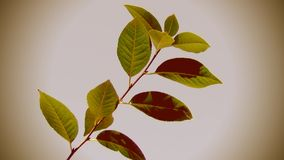 Branch of Cherry Tree on Wind stock video footage