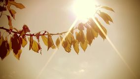 Branch of Cherry Tree on Wind. Branch of cherry tree against a sunny sky close-up stock video