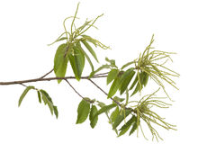 Branch of chestnut Stock Images