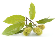 Branch of chestnut Stock Photos