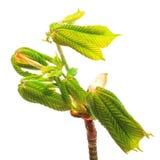 Branch chestnut Stock Photos