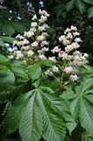 Spring flowering chestnut. Branch of chestnut horse with bloom and green leaves stock photos